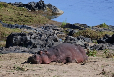 hippo, Kruger NP, South Africa