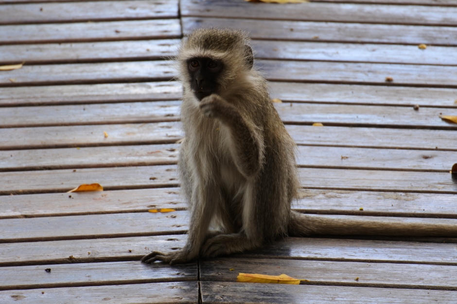 vervet monkey, Kuname River Lodge, Karongwe Game Reserve