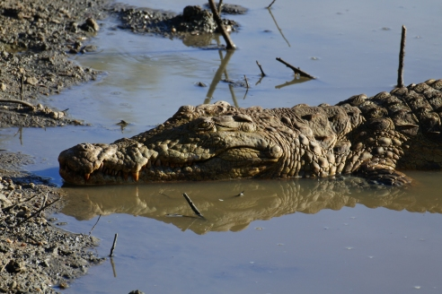 safari, crocodile, Karongwe Game Reserve, South Africa