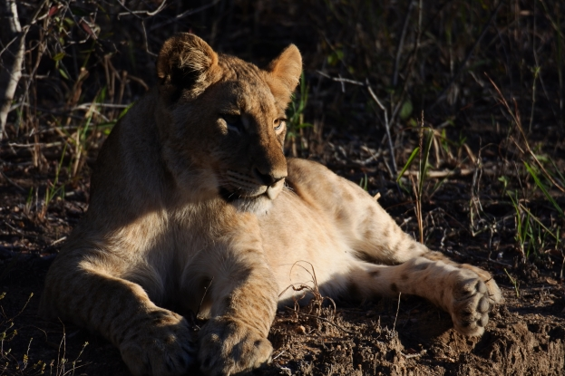 lion cub, karongwe game reserve, South Africa