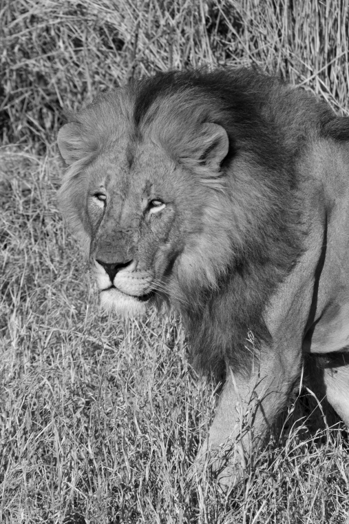 lion, Big Five, Botswana