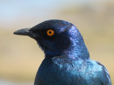 cape glossy starling, Kruger NP