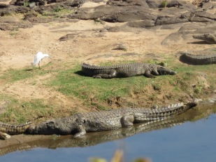 Nile crocodiles, Kruger NP, South Africa