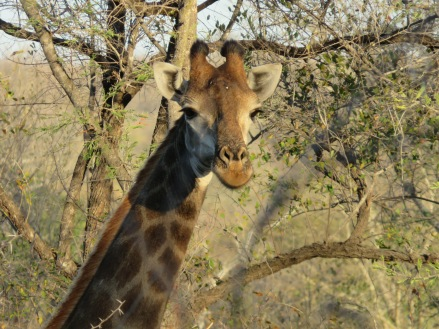 girafe, safari, Karongwe Game Reserve, South Africa