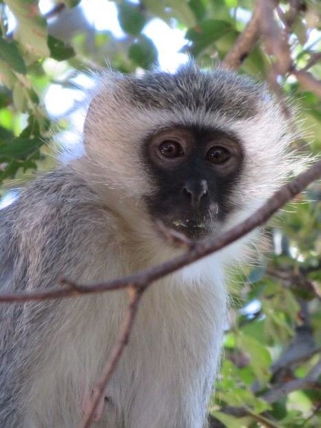 vervet monkey, Karongwe game reserve, safari, South Africa