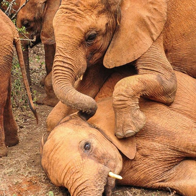 playing young elephants, orphanage, DSWT,Nairobi, Kenya