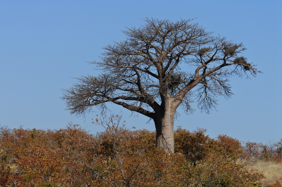 baobab, Mapungubwe National Park, Limpopo, South Africa