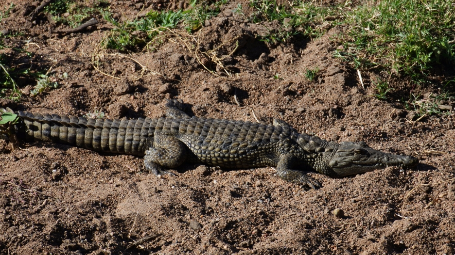 Nile crocodile, Limpopo valley, Mapungubwe, South Africa
