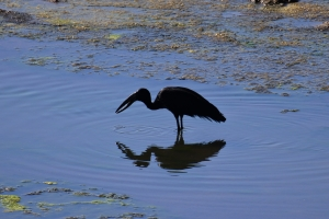 African openbill, Limpopo valley, Mapungubwe, South Africa