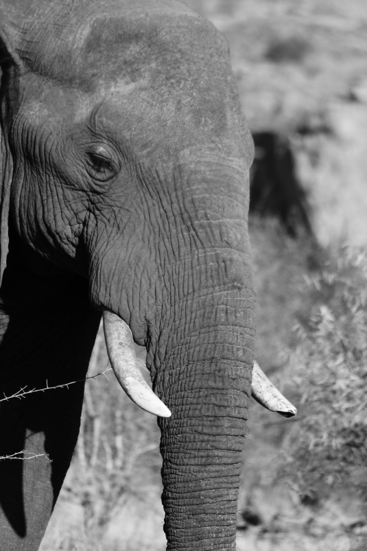 elephant, black and white, Mapungubwe NP, Limpopo, South Africa