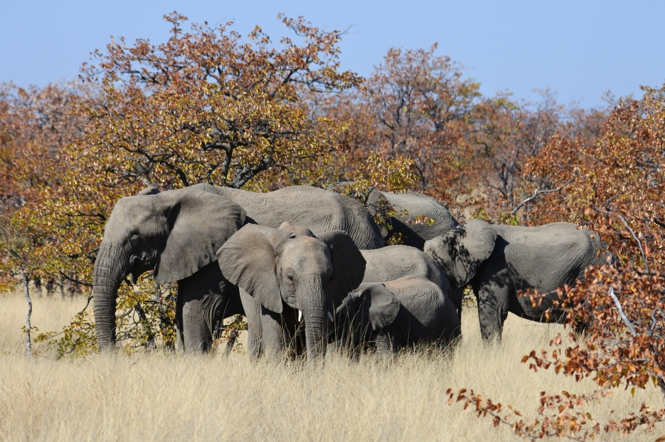 elephants, Mapungubwe NP, South Africa, elephant herd, elephant family