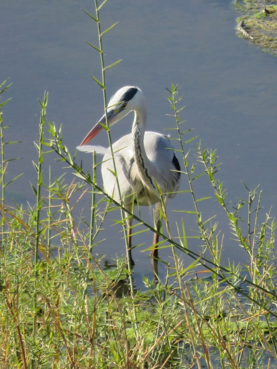 grey heron, Limpopo valley, Mapungubwe, South Africa