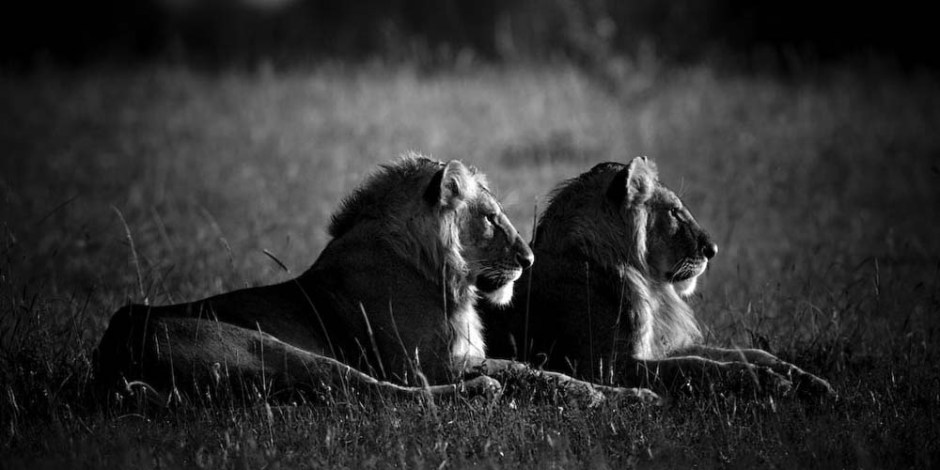 lions, Laurent Baheux, wildlife photographer, photographie, noir et blanc, black and white, Africa, Terre des lions, WWF