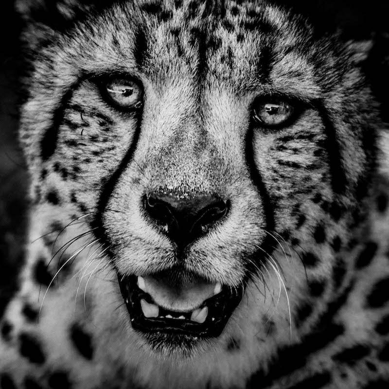 cheetah, wildlife photographer, portrait, Laurent Baheux, Kenya, Africa, black and white