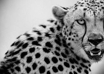 cheetah, Masai Mara, Kenya, wildlife photagraphy, Laurent Baheux, black and white