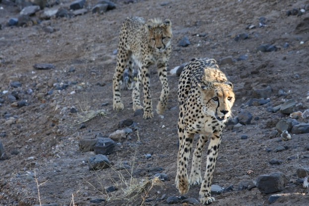 cheetahs, Mashatu Game Reserve, Botswana, safari