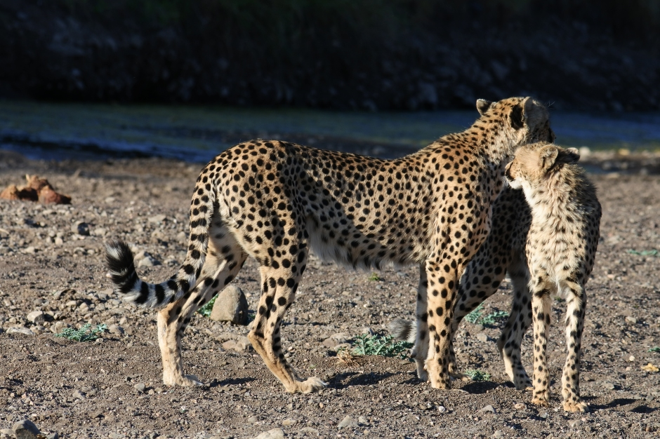 cheetah and cub, Mashatu Game Reserve, Botswana