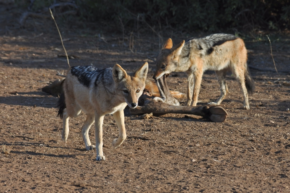 black-backed jackal, Mashatu Game Reserve, Botswana