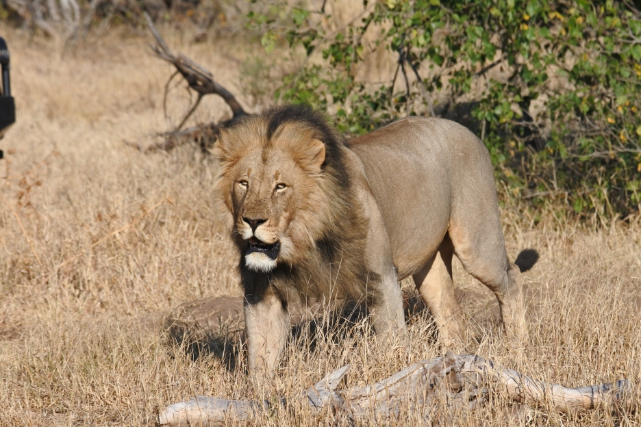 lion, Mashatu Game Reserve, Botswana, Land of the Giants
