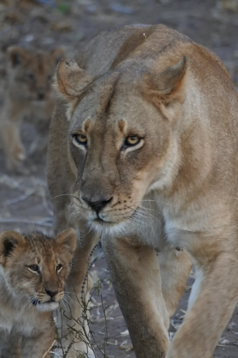 lioness and cub, Mashatu Game Reserve, Botswana