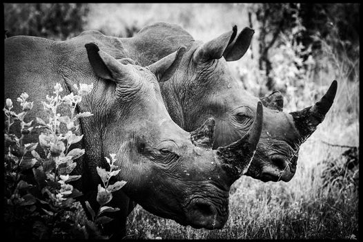 rhinos, horns, Africa, Afrique, Laurent Baheux, wildlife photographer, black and white