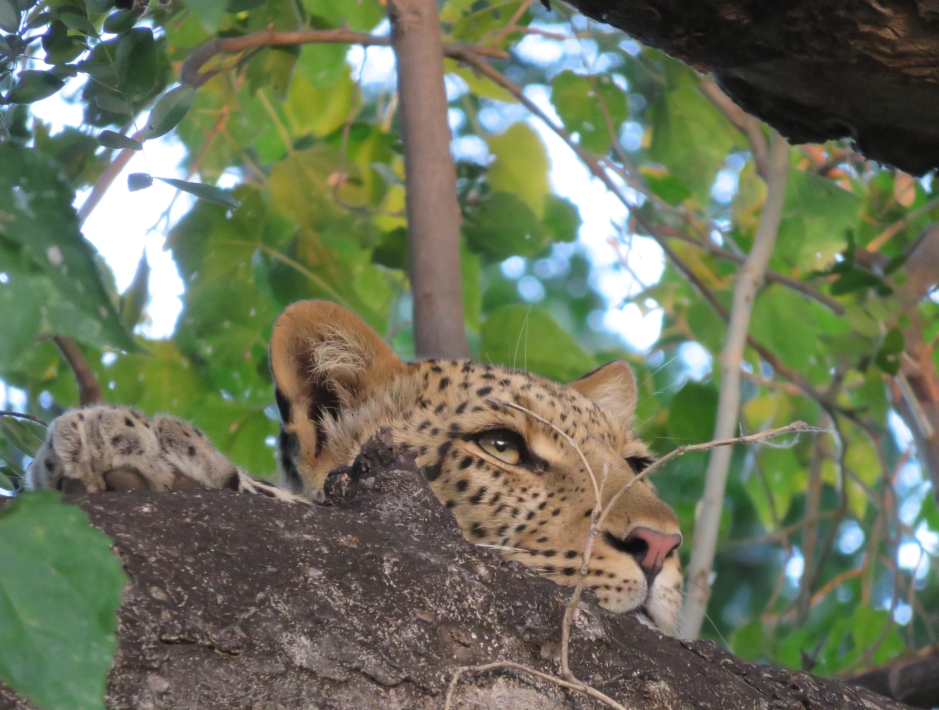leopard in a tree, Machatu Game Reserve, Botswana