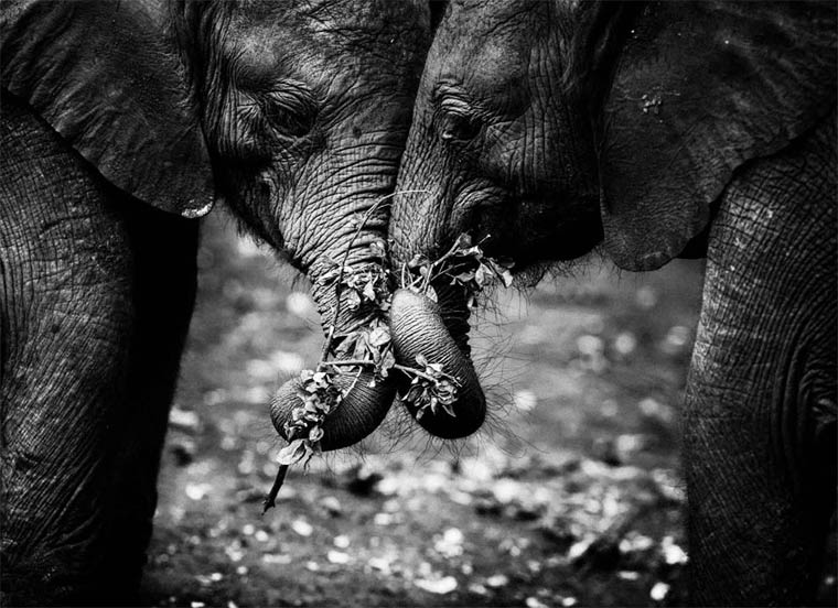 elephants, Africa, wildlife photography, Laurent Baheux, black and white