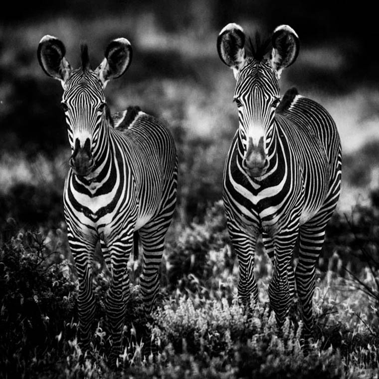 zebras, Africa, black and white photography, wildlife photographer, Laurent Baheux