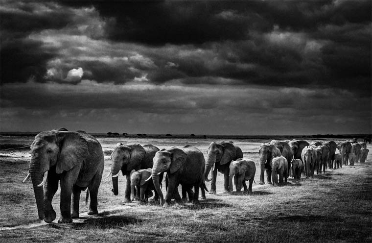 elephants, Africa, Afrique, Laurent Baheux, wildlife photographer, black and white, YellowKorner