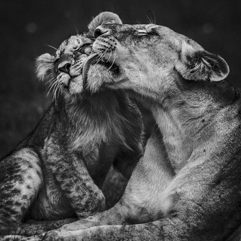 lioness and cub, Laurent Baheux, Africa, wildlife photographer, black and white