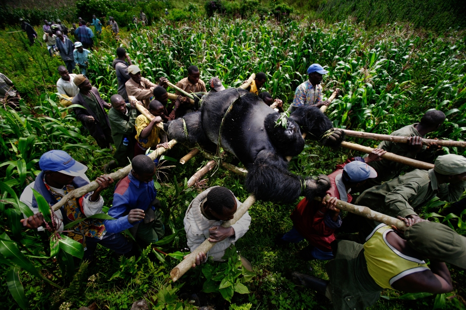 Brent Stirton, gorilla, Virunga National Parc, Congo, poaching