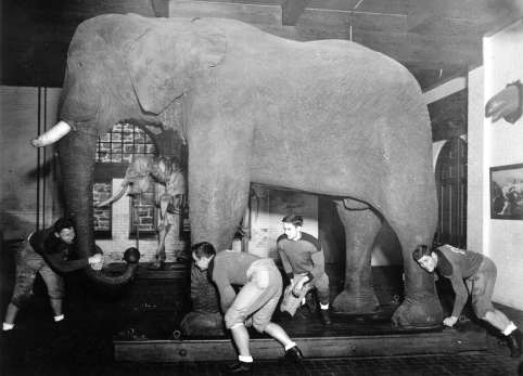 Jumbo naturalisé, devenu la mascotte de l'université Tufts.