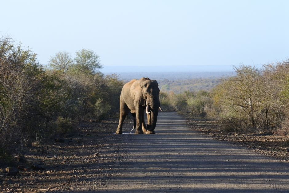 bull elephant, Kruger National Park, game drive, safari, South Africa, wildlife