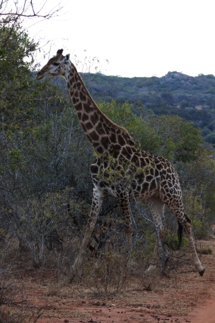 giraffe, Leshiba Wilderness, private reserve, Soutpansberg, South Africa
