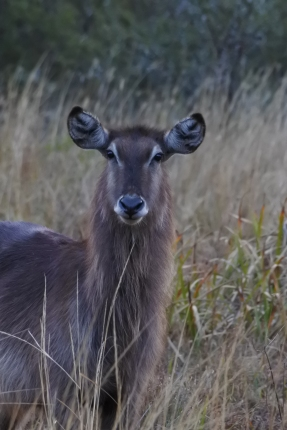 waterbuck, Leshiba Wilderness, private reserve, Soutpansberg, South Africa