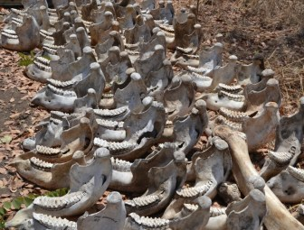bones, elephants, poaching, Niassa National Reserve, Mozambique