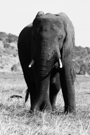 Chobe National Park, elephants, Botswana, Kalahari elephant