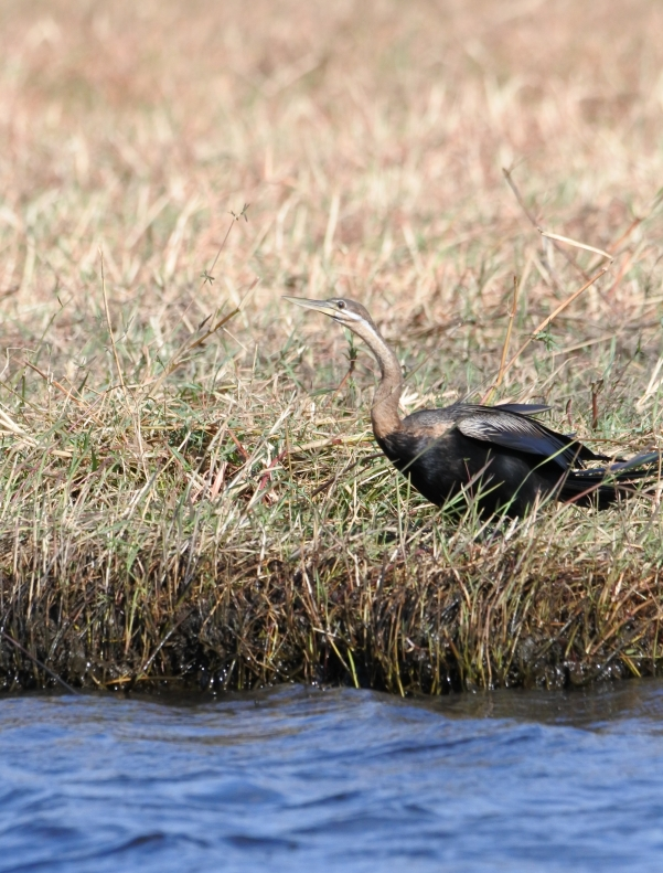 Anhinga d'Afrique.