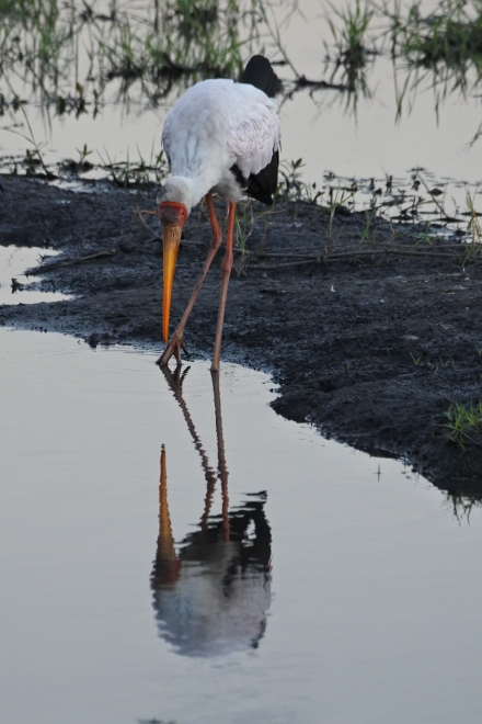 Yellow-billed stork, Chobe NP, Botswana