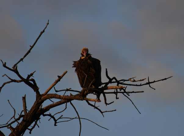 Hooded vulture, Chobe NP, Botswana