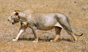 lion, Tsavo, Kenya, maneless