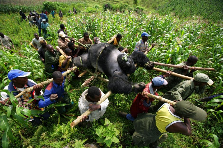 gorilles, parc national des Virunga, RDC, Brent Stirton, photographer