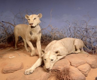lions, man-eaters of Tsavo, Field Museum