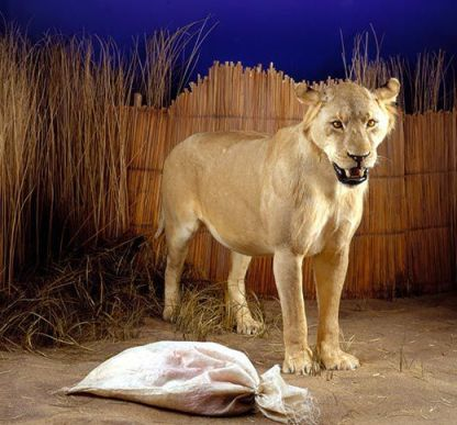 Mfuwe lion, man-eaters, Africa, Zambia, maneless