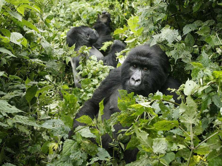 gorillas, Virunga National Park, DRC, Africa