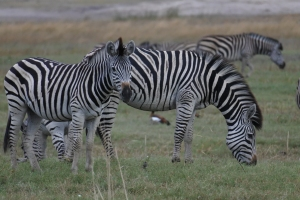 Zebras, Chobe River, Camp Chobe Lodge, Namibia, Caprivi Strip