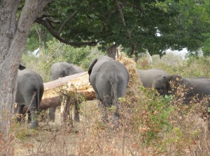 Caprivi Strip, Namibia, elephant herd