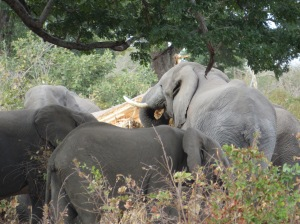 Caprivi Strip, Namibia, elephants