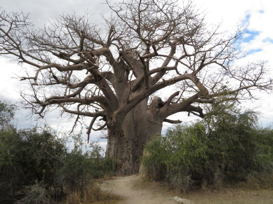 baobab, Mahango Game Park, Bwabwata National Park, Caprivi Strip, Namibia