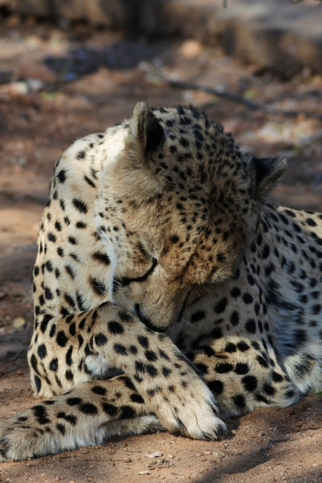 cheetah, South Africa, Les Yeux de la Girafe